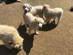 Livestock | Work Dogs