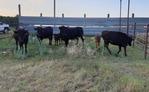 Livestock | Cattle
